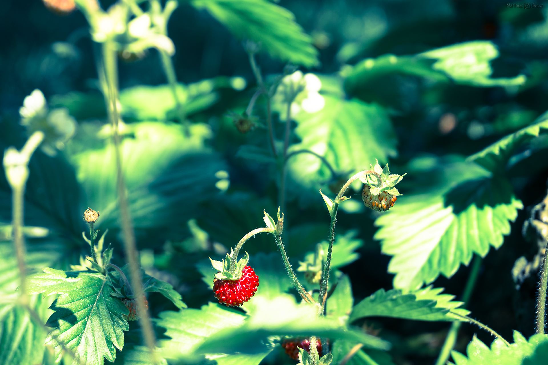 Wild Strawberry-Wilde Erdbeeren