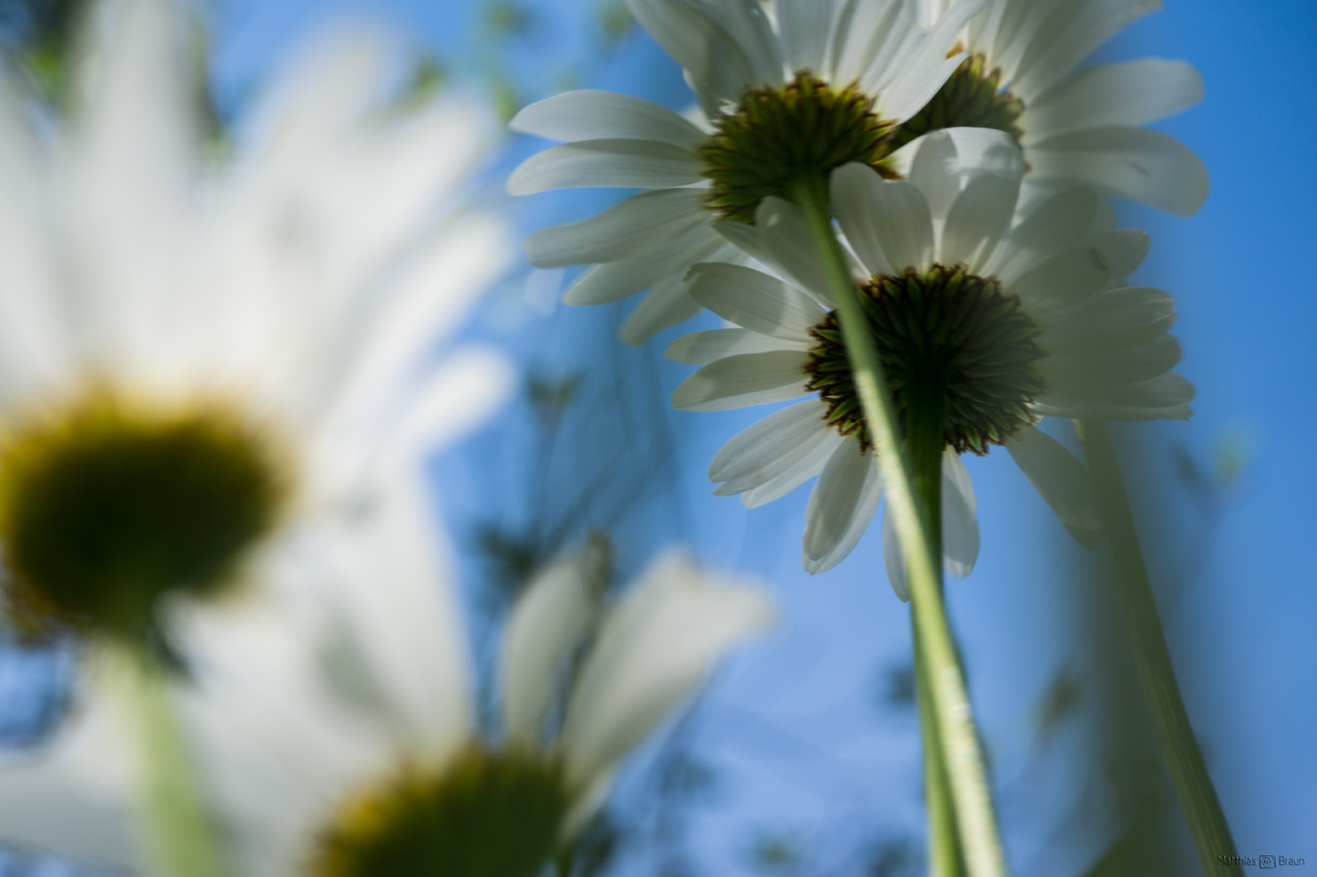 Margeriten | Pflanzenfotografie