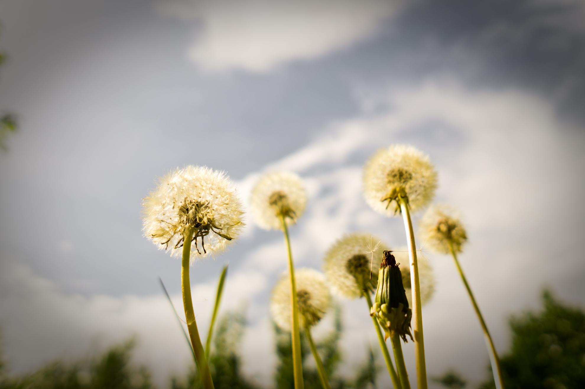 Pusteblumen | Pflanzenfotografie